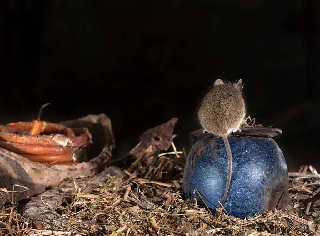 Rat perched on objects
