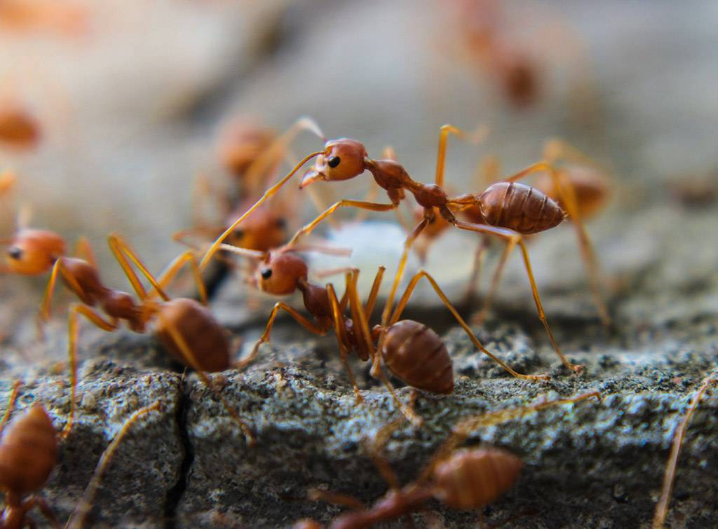 Fire ant pest control cost