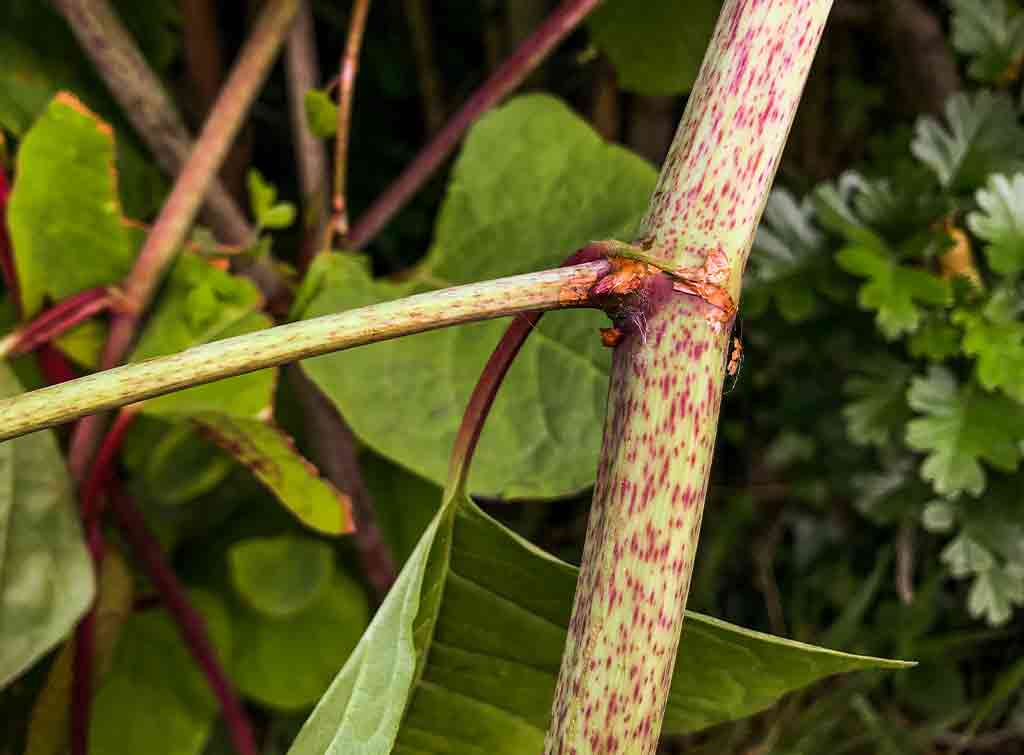 Cost to remove Japanese knotweed